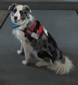 Image of collie therapy dog