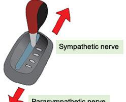 sympathetic nervous system acts like accelerating a car, the parasympathetic nervous system acts like the break